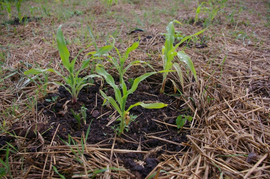 Kukurydza i fasolka