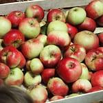 Jabłka w płynie