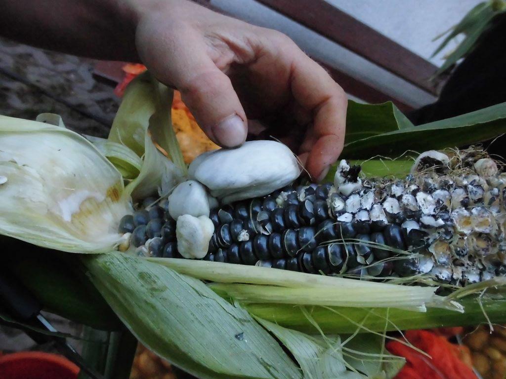 Głowni kukurydzy