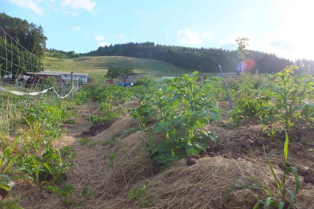 Ziemniaczane pole