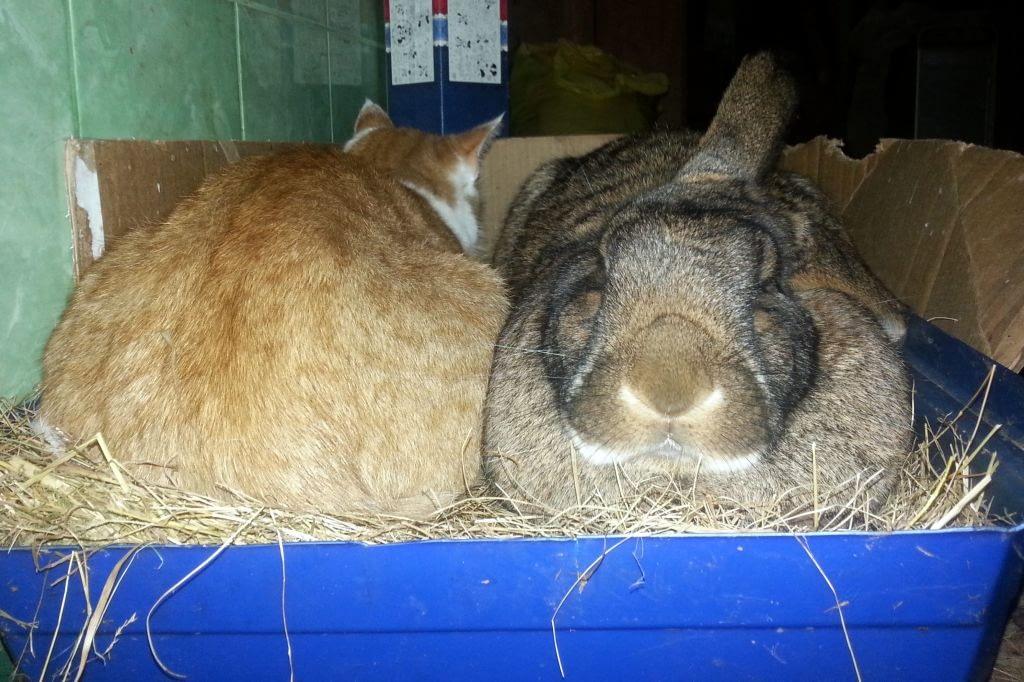 Od strony królika