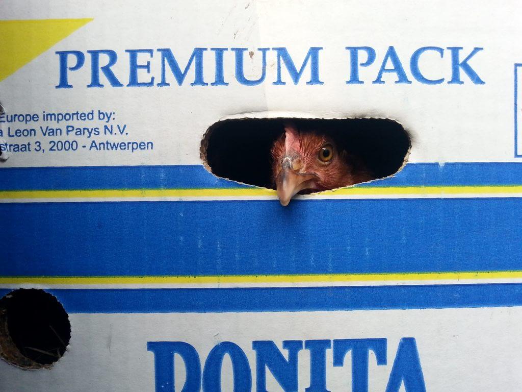 Premium Pack - 4 kury